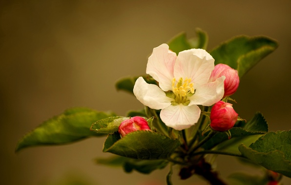 Wallpaper apple blossom flower buds leaves wallpapers flowers 596x380