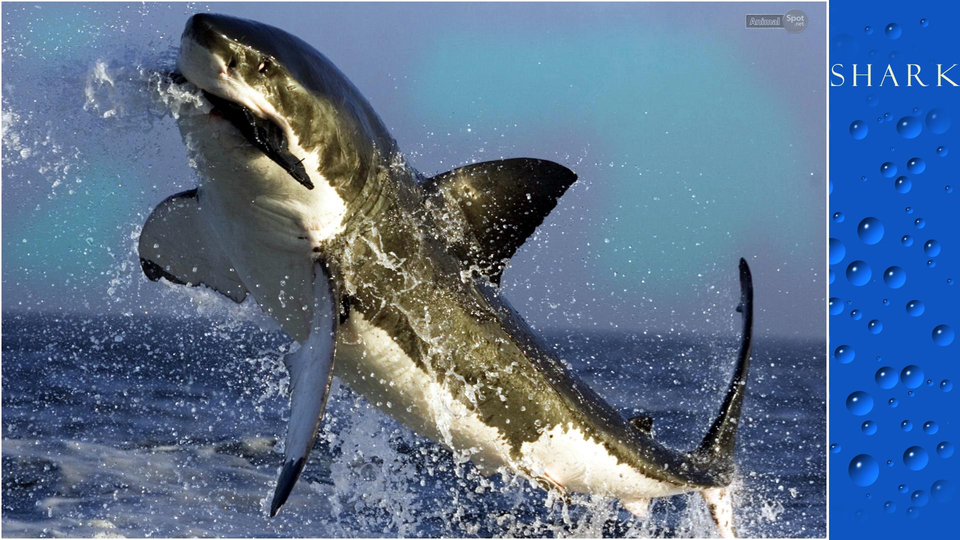 Live Shark Wallpaper for PC - WallpaperSafari