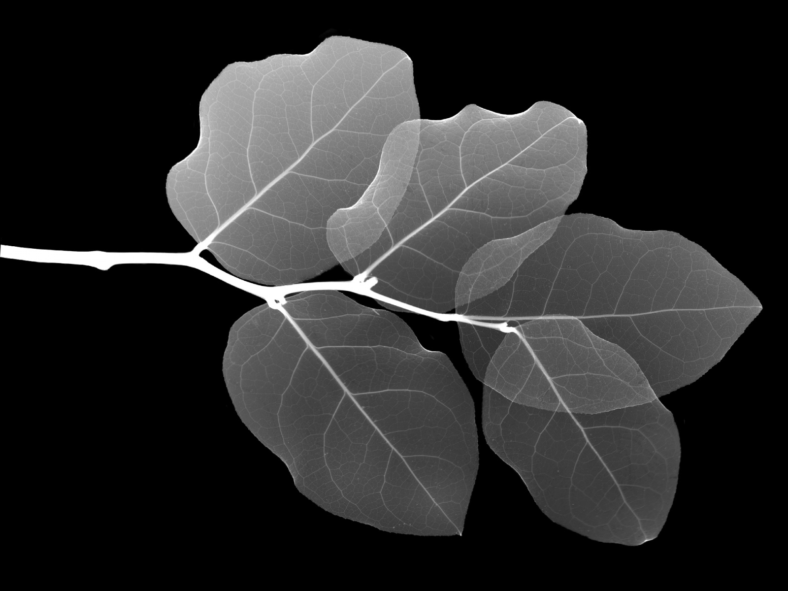 Leaf X ray wallpapers and images   wallpapers pictures photos 1600x1200