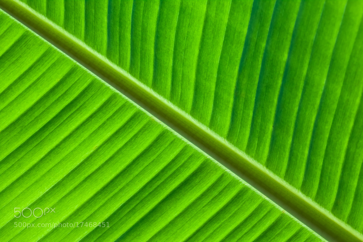 Banana Leaf Wallpaper Pattern Photograph banana leaves 1170x780