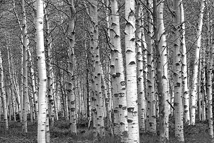 Black And White Birch Tree Wallpaper White Birch Tree Forest Grove 750x500