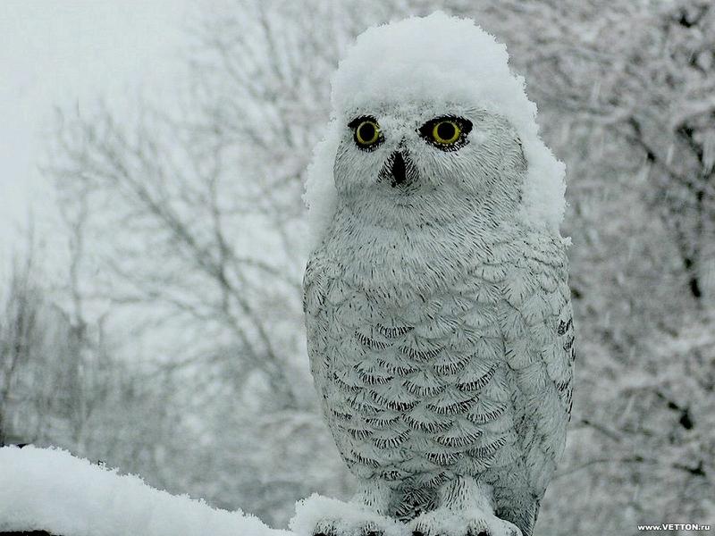 pics for gt cute snowy owl wallpaper
