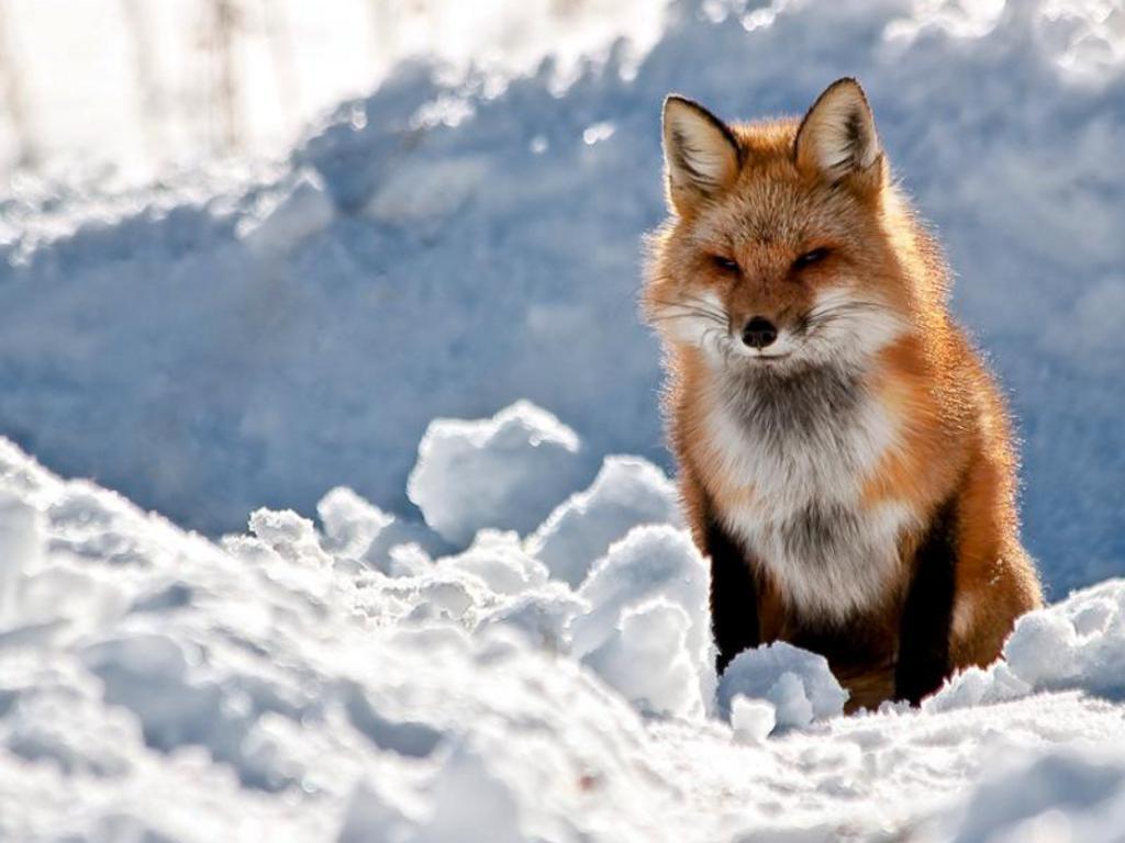 Description Red Fox Wallpaper HD is a hi res Wallpaper for pc 1024x768