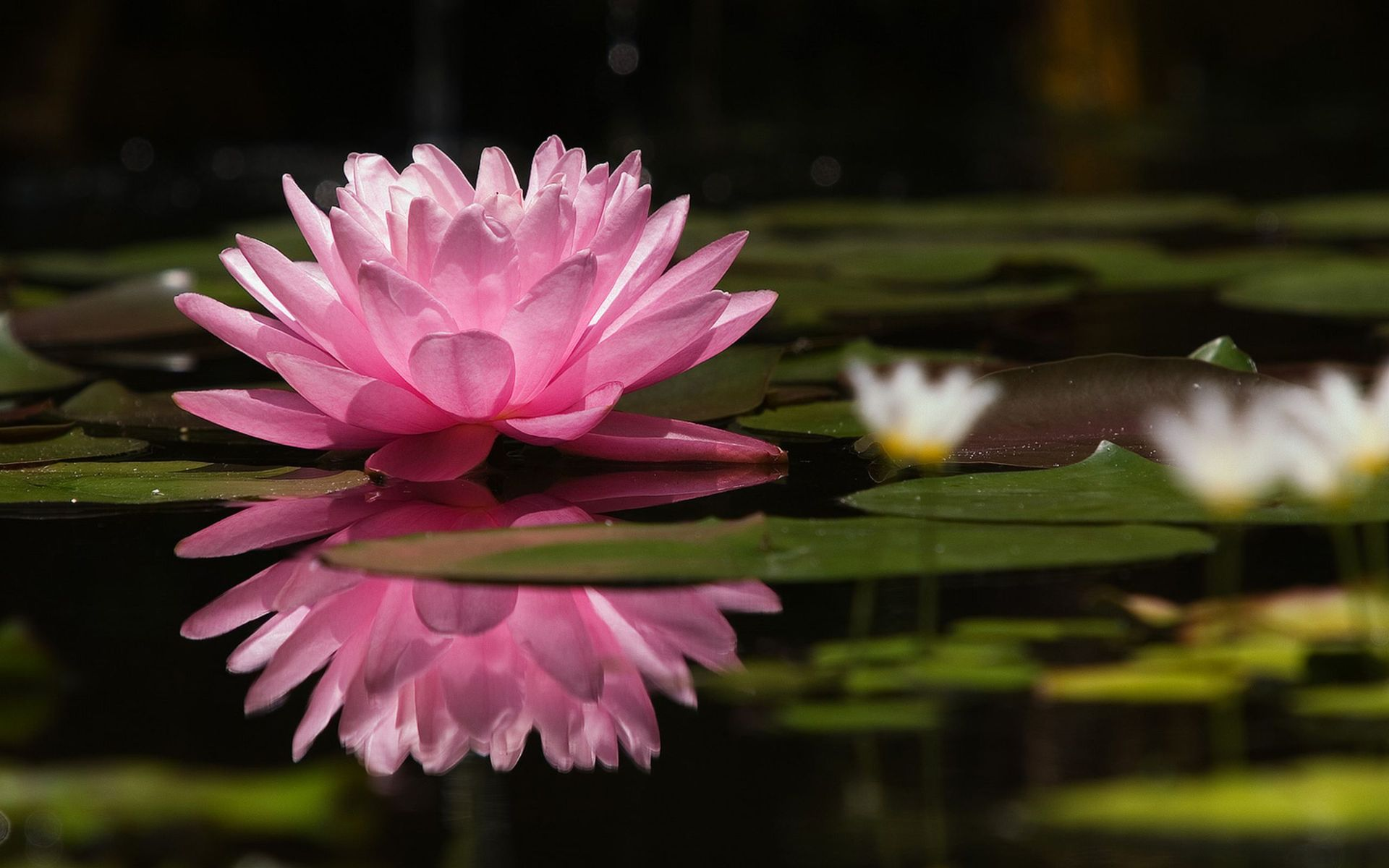 916934 Water Lily Wallpapers Flowers Wallpapers Gallery   PC 1920x1200