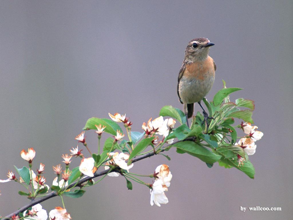 Birds Wallpaper   Lovely Bird in Spring Vol1 1024x768 NO25 Desktop 1024x768