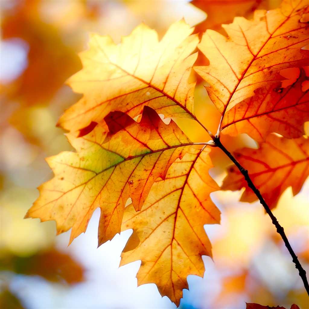 Autumn Leaf iPad Air Wallpaper Download iPhone Wallpapers iPad 1024x1024
