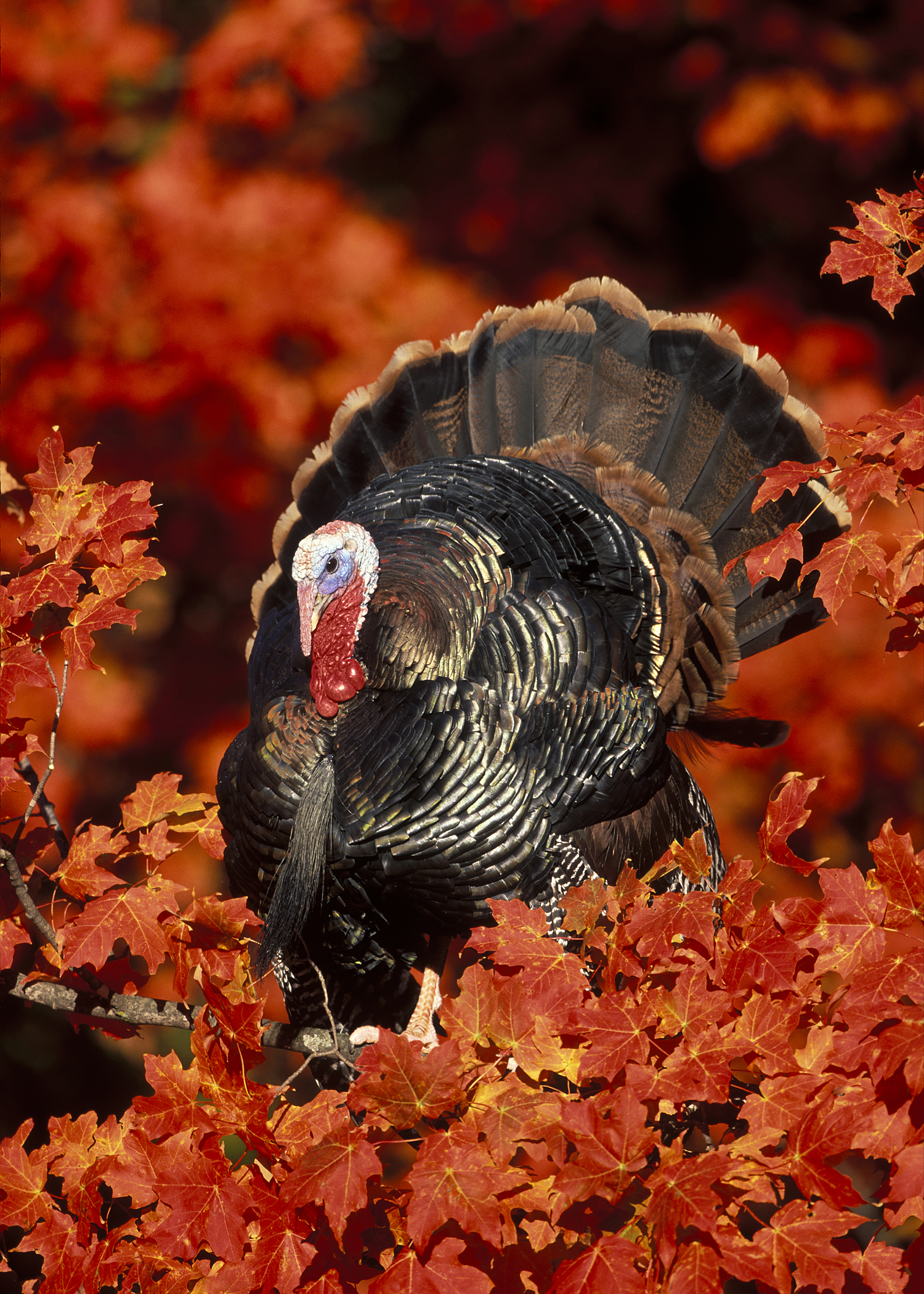 Photo courtesy of National Wild Turkey Federation 1500x2100