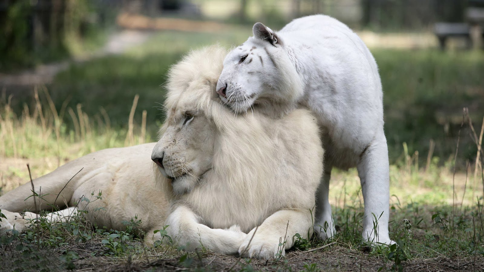 download white lion cubs wallpaper which is under the lion wallpapers 1600x900