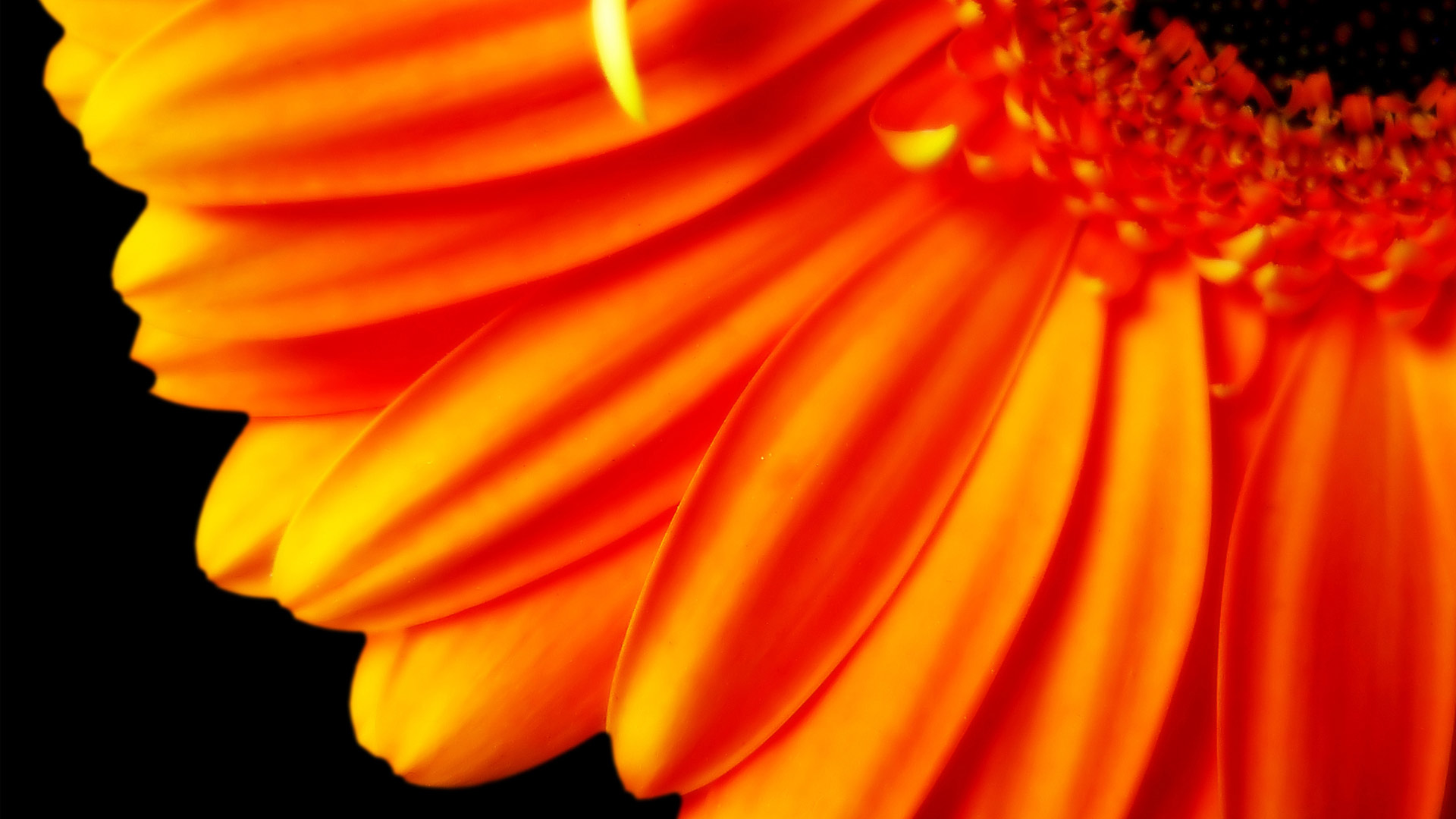 Pure Orange Flower 1080p Wallpapers HD Wallpapers 1920x1080