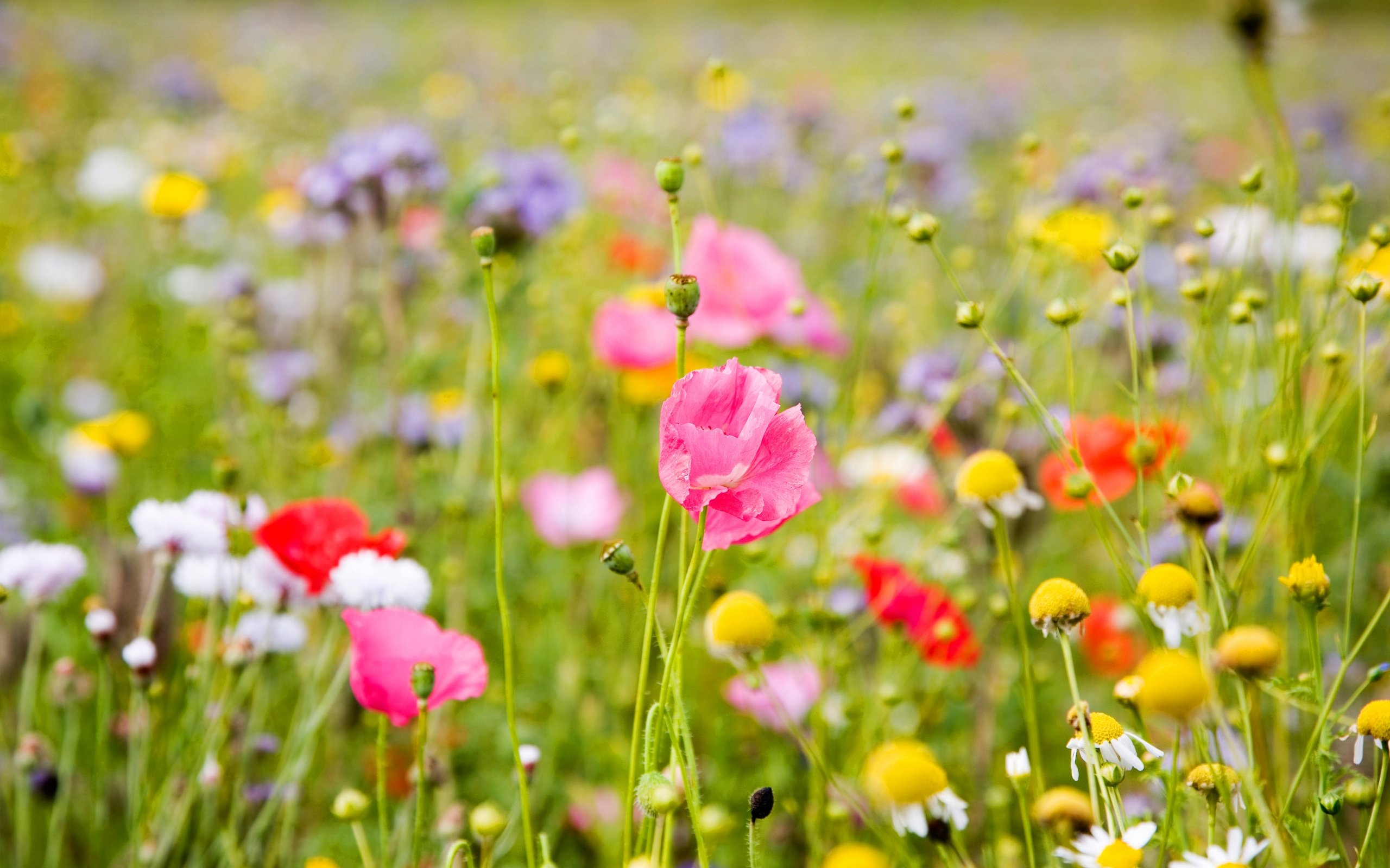 Summer Meadow Colorful Flowers 2560 x 1600 Download Close 2560x1600