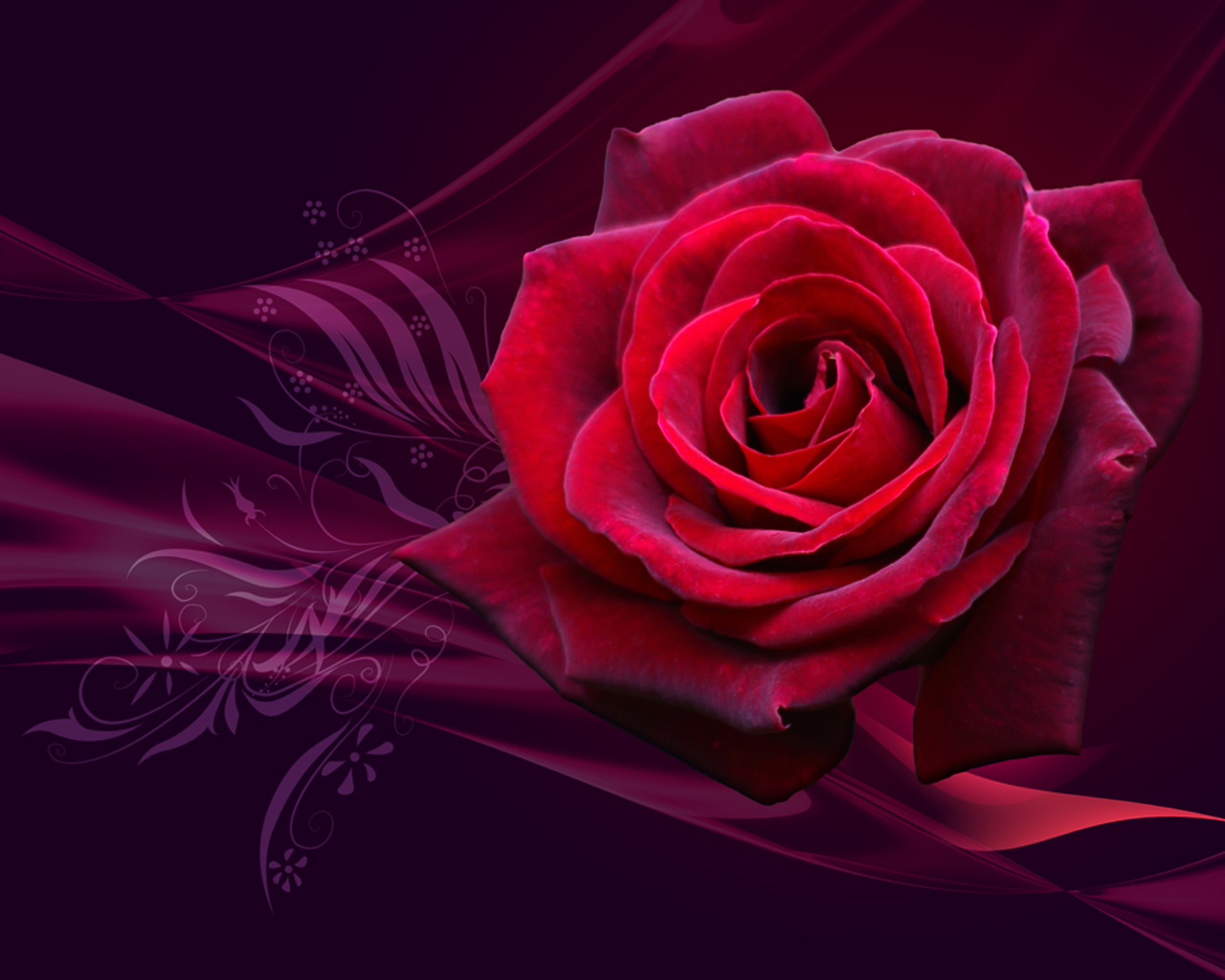 Red Rose Wallpaper 10973 Hd Wallpapers in Flowers   Imagescicom 1280x1024