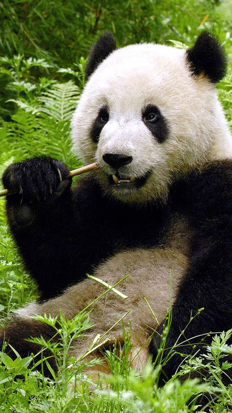 Cute panda iPhone 6 Wallpapers iPhone 6 Wallpapers 750x1334
