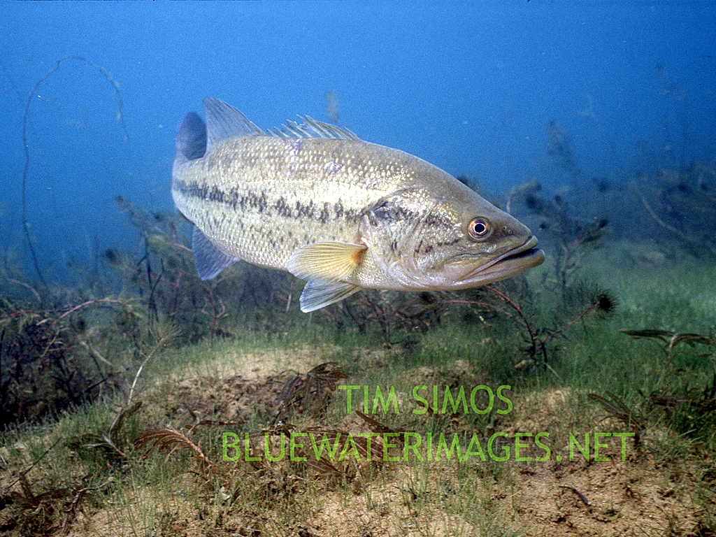 Smallmouth Bass Wallpaper Largemouth bas 1024x768