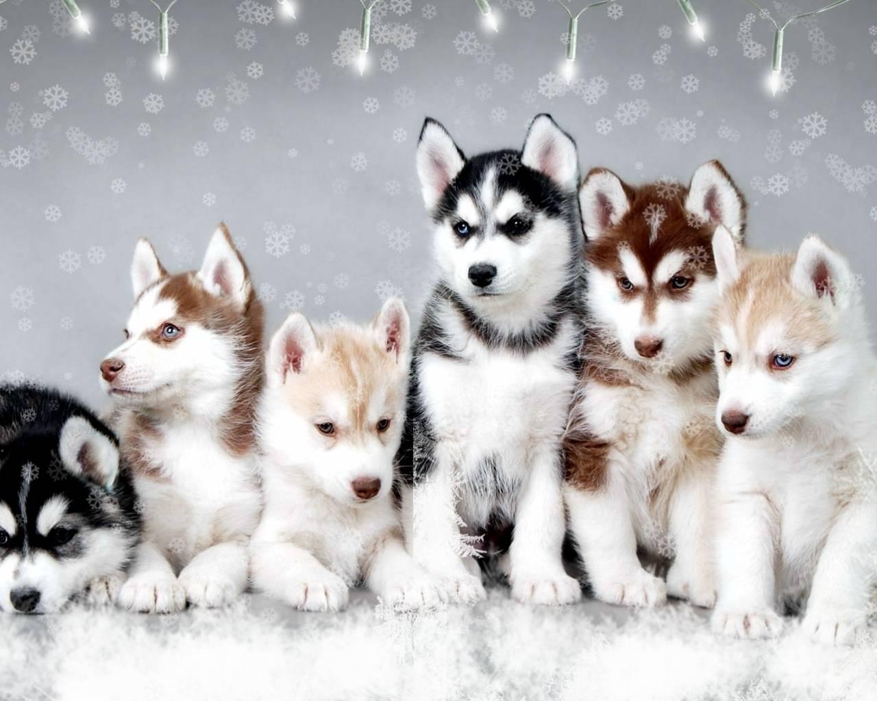 Snow Dogs Cute snow Huskies 1280x1024