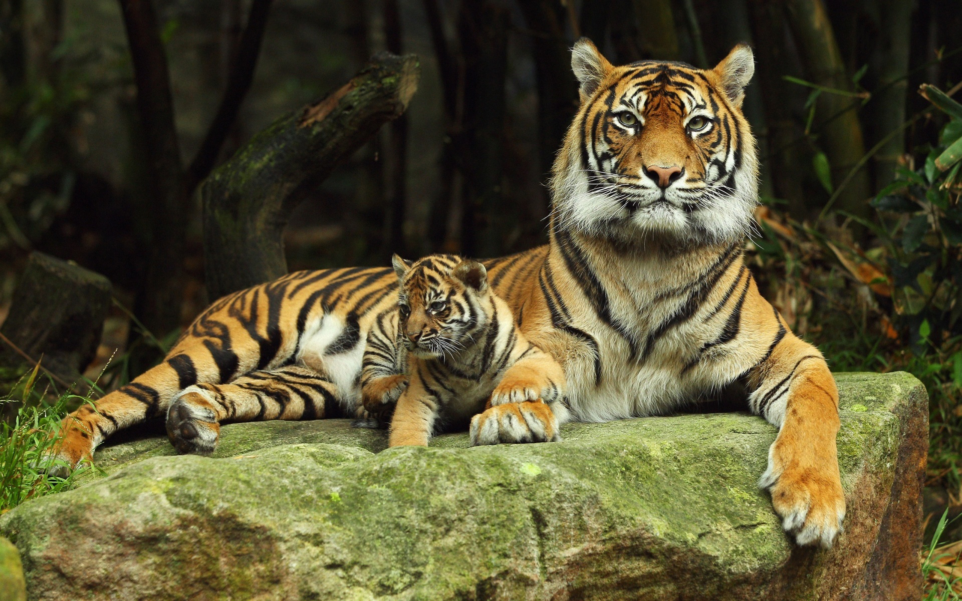 with tiger cub wallpapers and images   wallpapers pictures photos 1920x1200