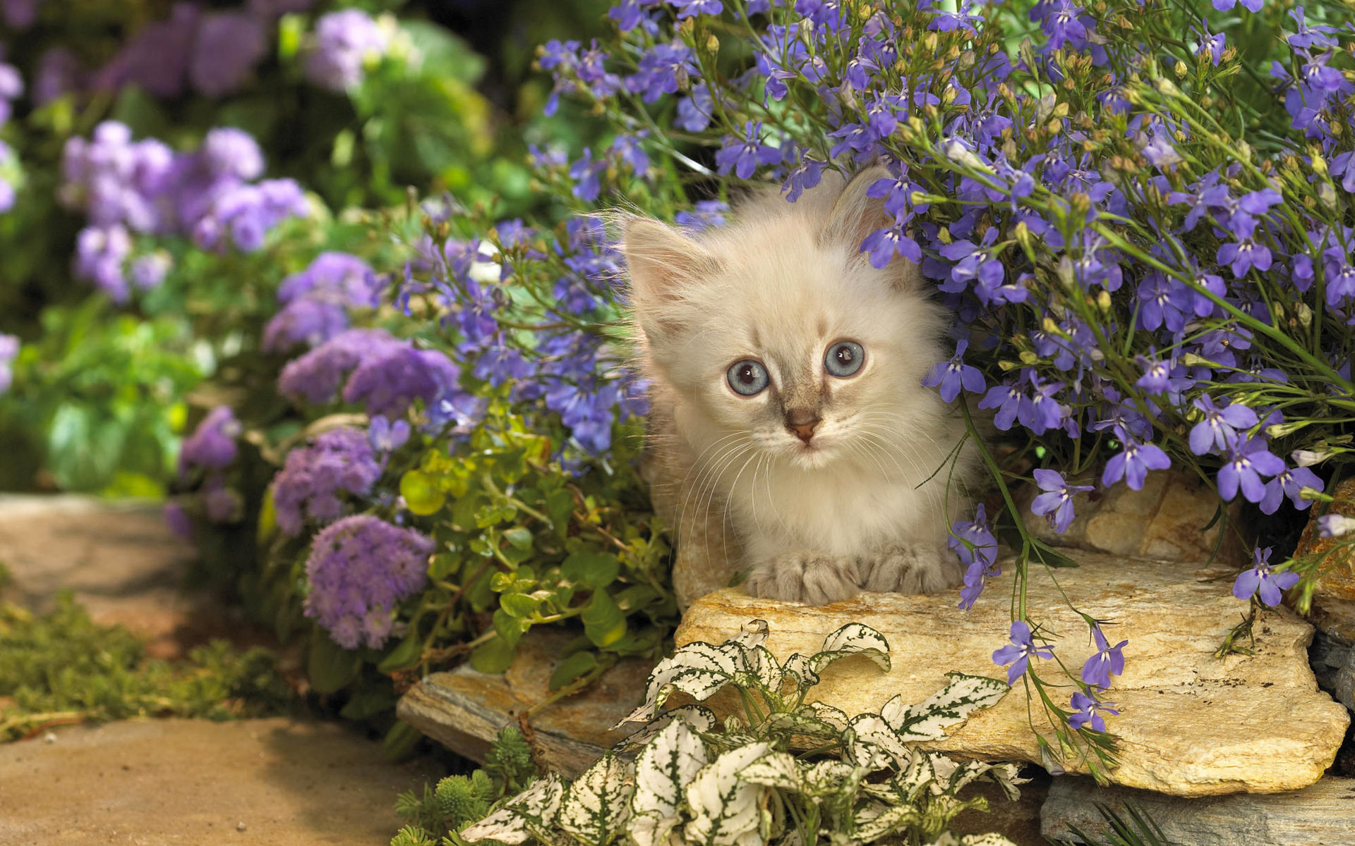 kote cat flowers purple stone peeps wallpapers photos pictures 1920x1200