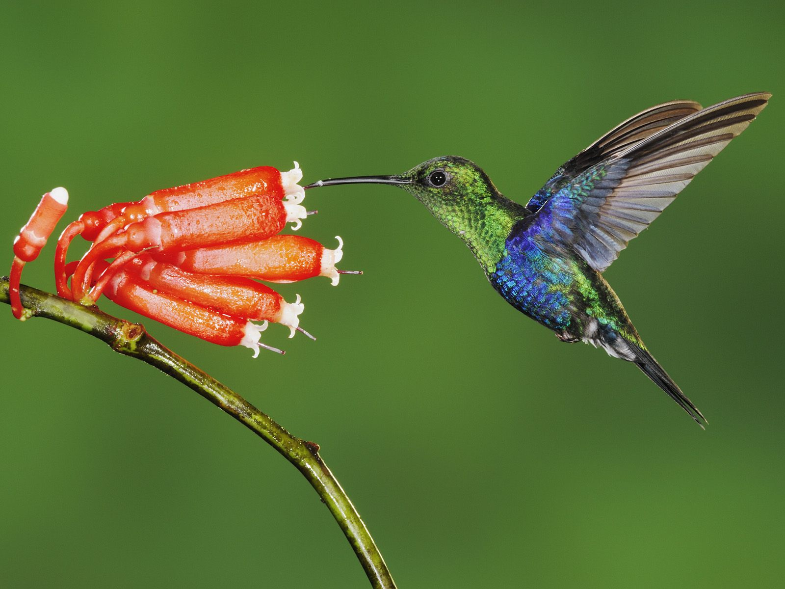 Wide screen humming bird sketches pc wallpapers 1600x1200
