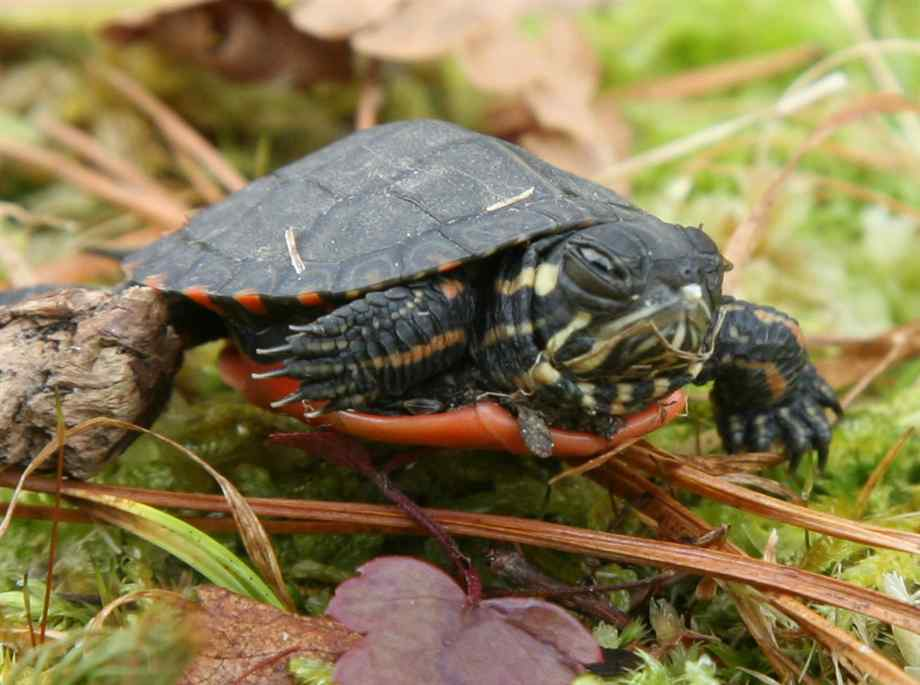 Painted Turtles Painted Turtle Pictures Facts and Information Page 920x685