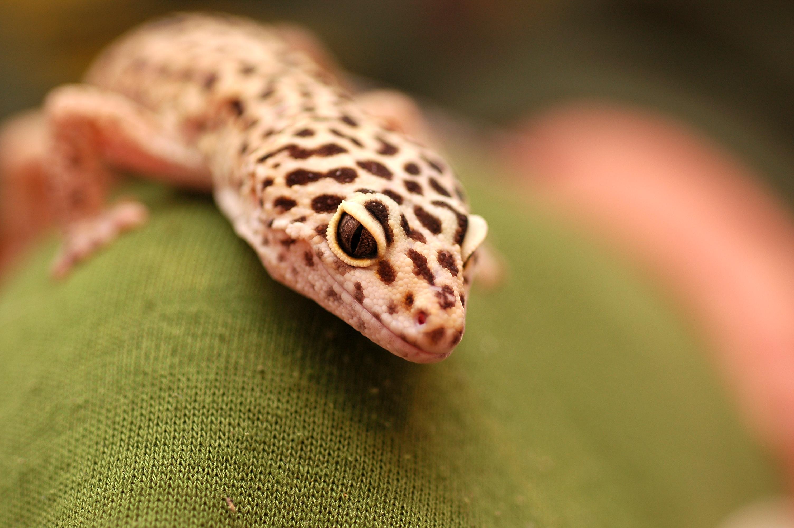 Leopard Gecko Morphs HD Wallpaper Background Images 3008x2000