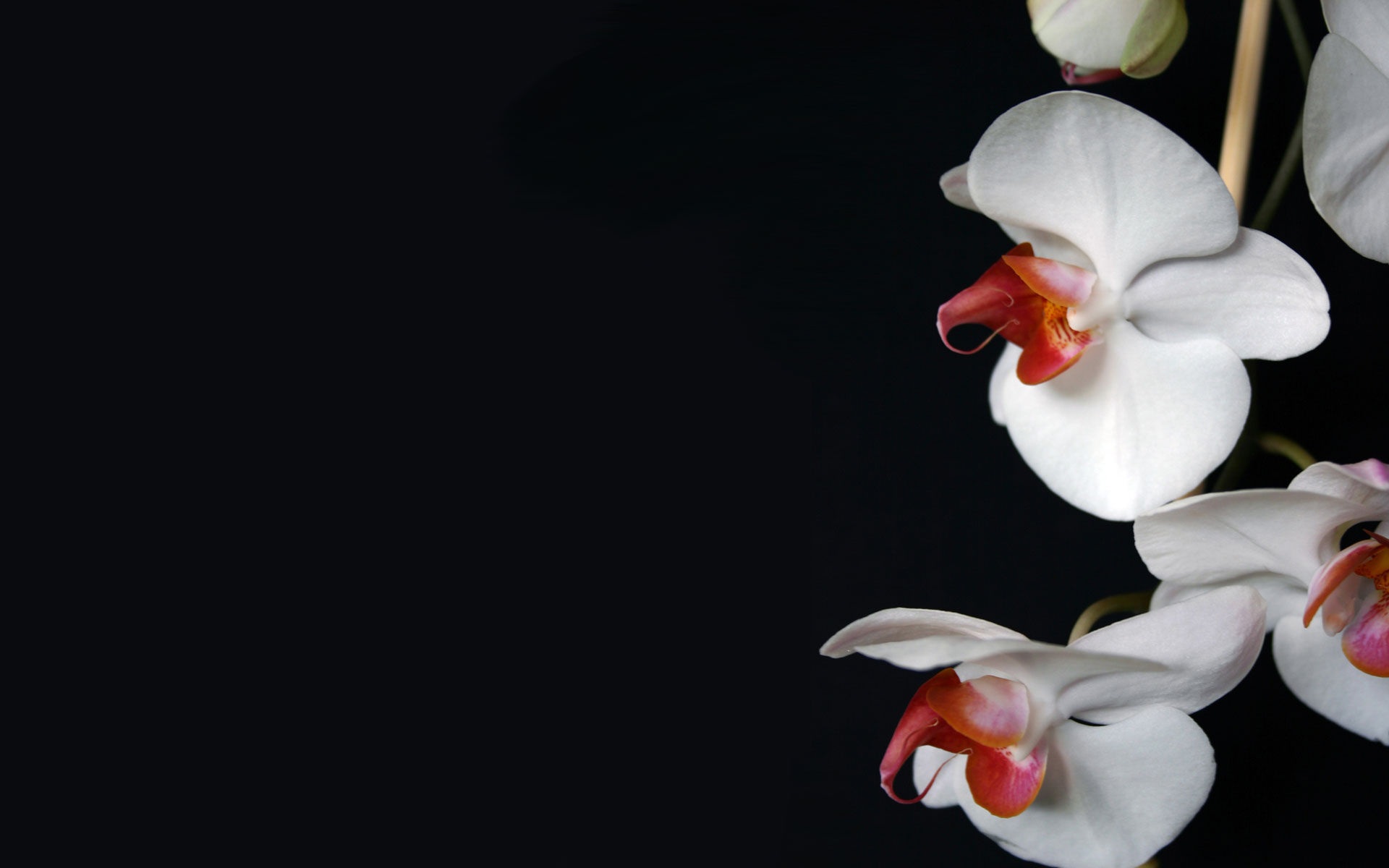 flowers white wallpaper nature pictures background orchid 1920x1200