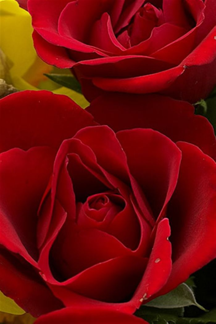 iphone red rose wallpaper Photo download Full High resolution 700x1050