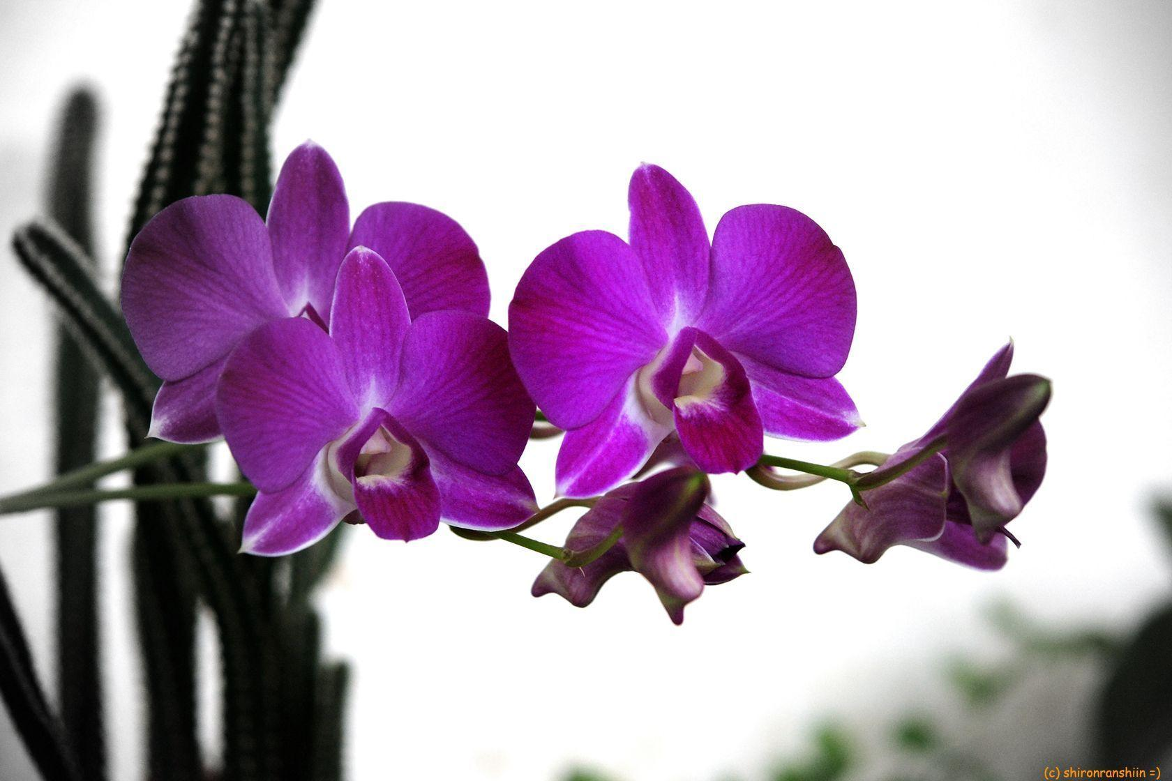 Purple Orchid Wallpapers 1680x1120