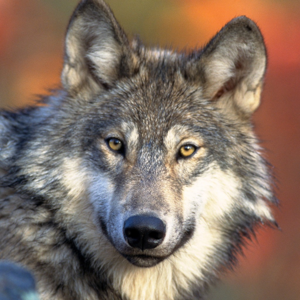 Gray Wolf Wallpaper for iPad and Galaxy Tab   Tablet iPad Wallpapers 1024x1024