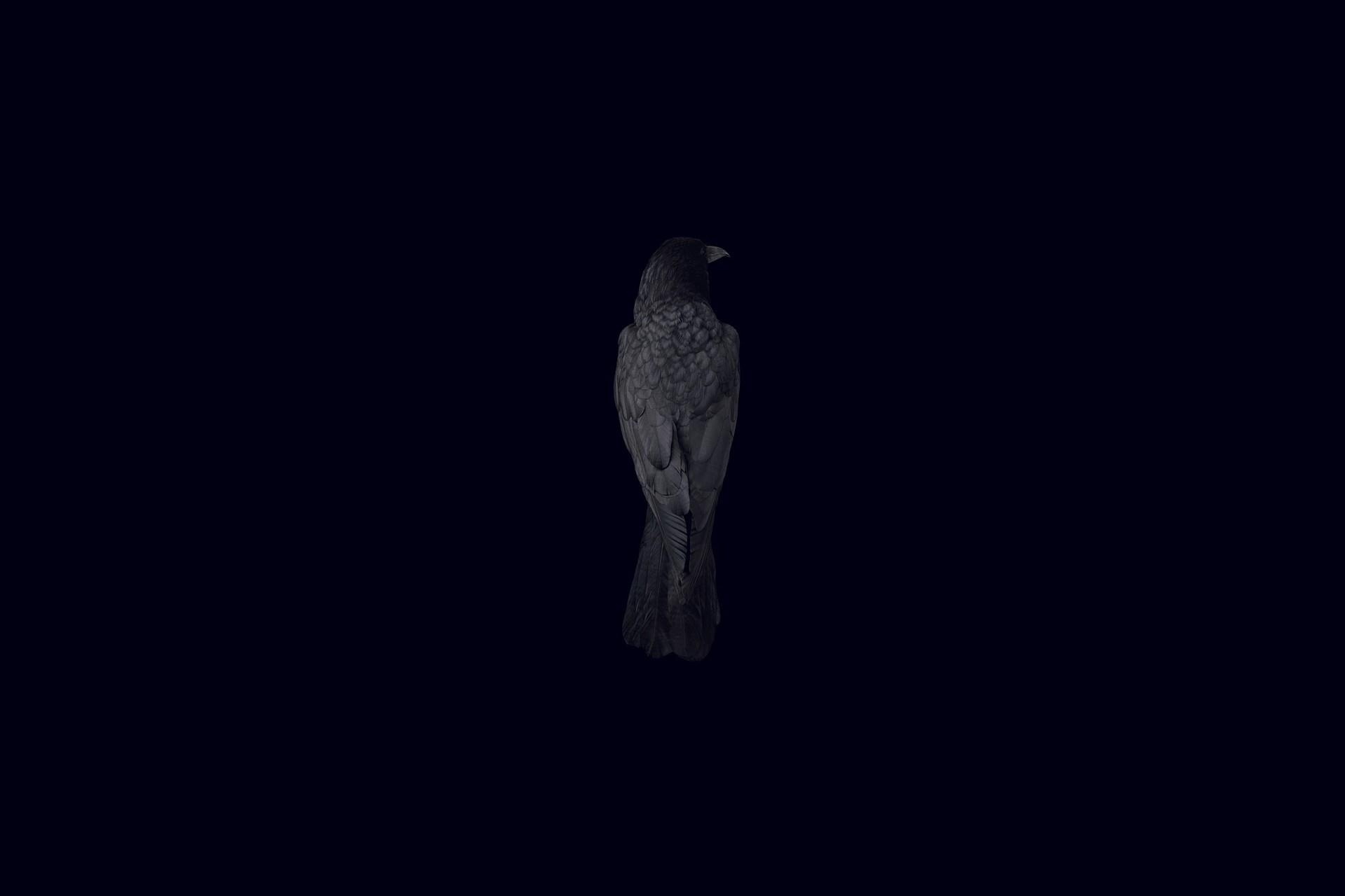 Wallpaper black background bird raven wallpapers minimalism 1920x1280