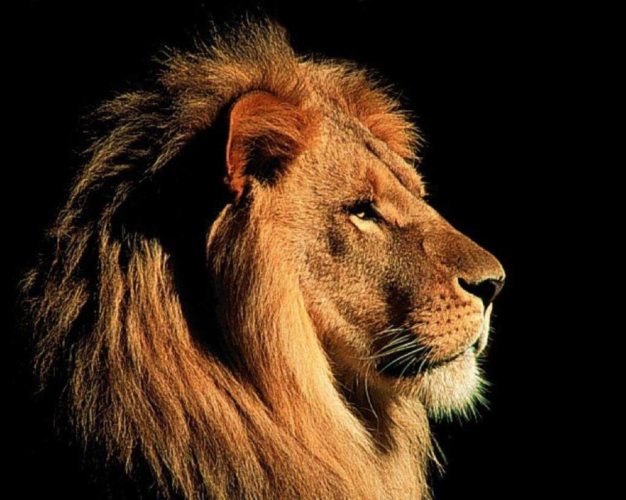 lion wallpaper the best top desktop lion wallpapers hd lion wallpaper 1280x1024