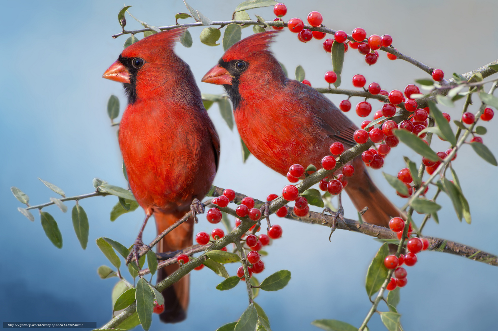 Download wallpaper Red Cardinal Cardinals birds couple 1600x1066