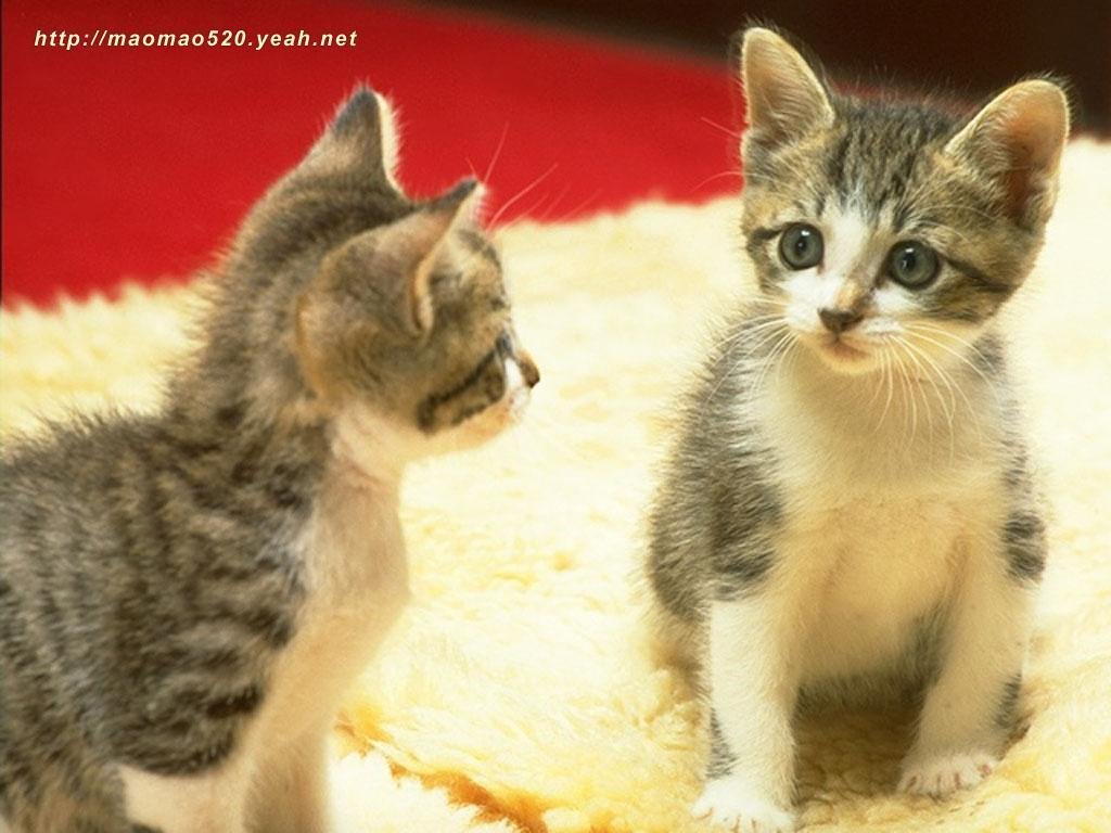 Cute Kitten Wallpaper   Kittens Wallpaper 13938936 1024x768