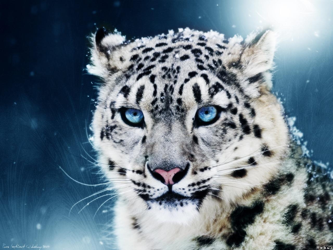 Tiger 2 siberian or amur tiger 1 WHITE TIGER 35 White Tiger Cubs 1280x960
