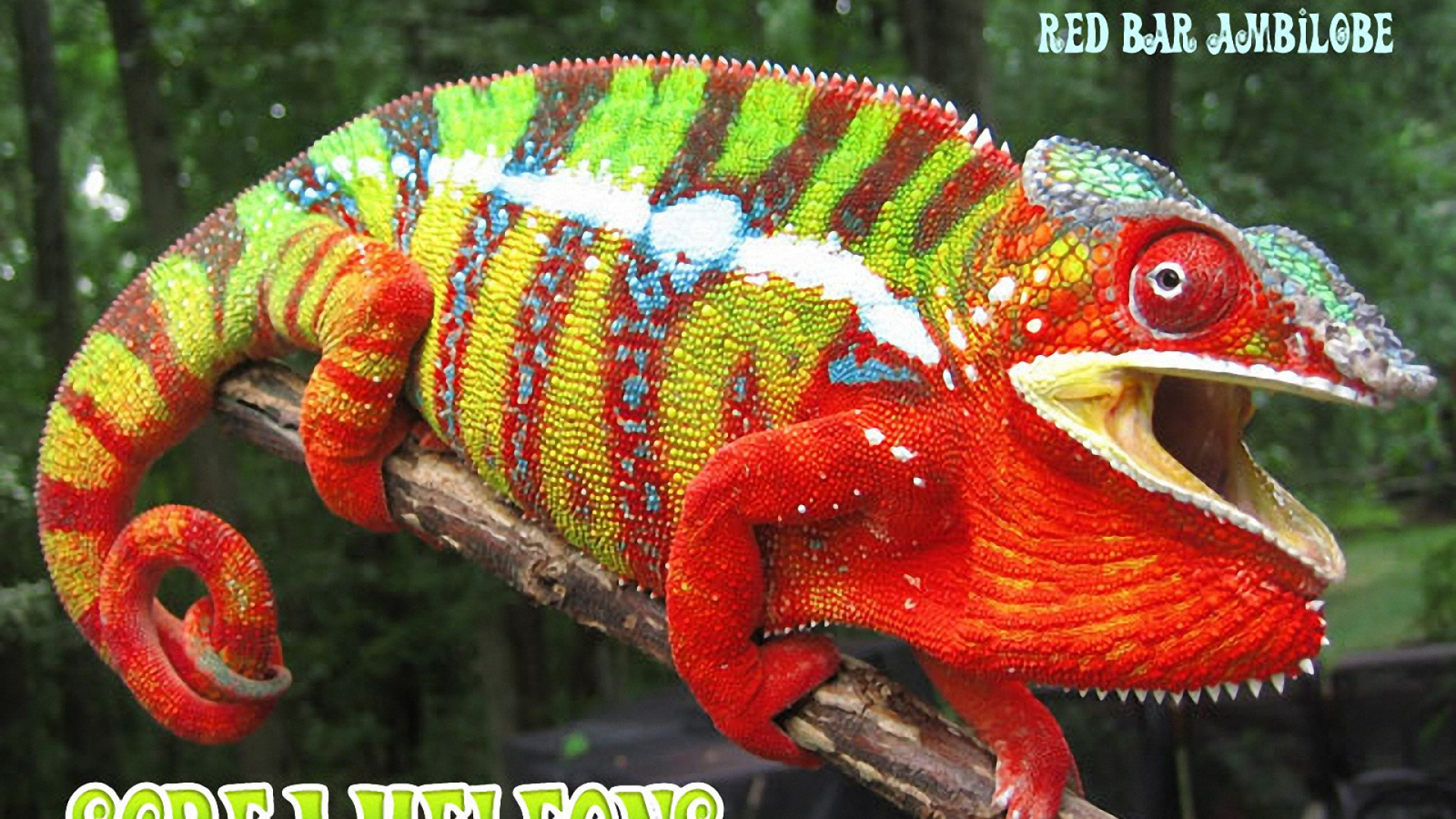 H D Reptiles Panther Chamele...
