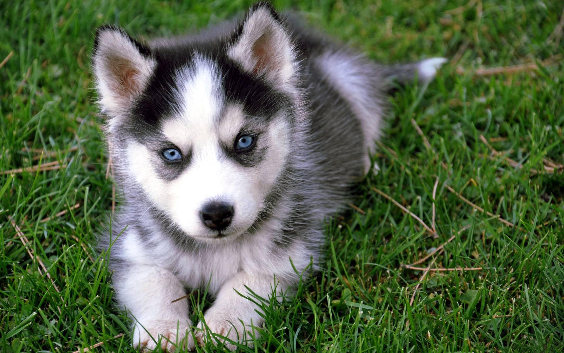 puppy dog wallpapers huskies wallpapersafari