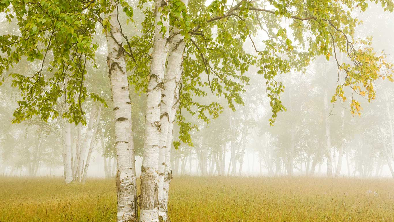 Birch trees in the fog Thunder Bay Ontario Canada Design Pics 1366x768