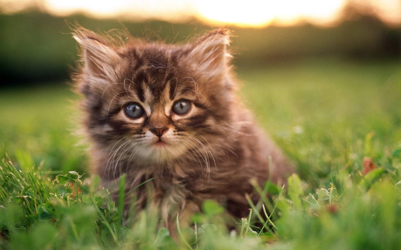 Free Download Cute Baby Kittens 8497 Hd Wallpapers In Animals Imagescicom 1280x800 For Your Desktop Mobile Tablet Explore 48 Baby Cats Wallpaper Cats Wallpaper Cute Kitten Wallpapers For Desktop