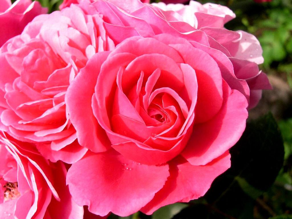 pink rose desktop wallpapers pink rose flower pink rose wallpaper pink 1024x768