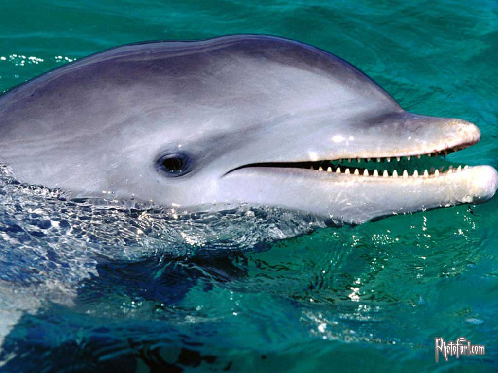 dolphin wallpaper wallpapers 1024x768