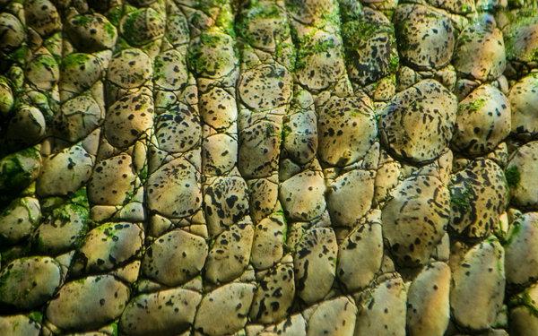 Crocodile Skin by ringtaillemur 600x375