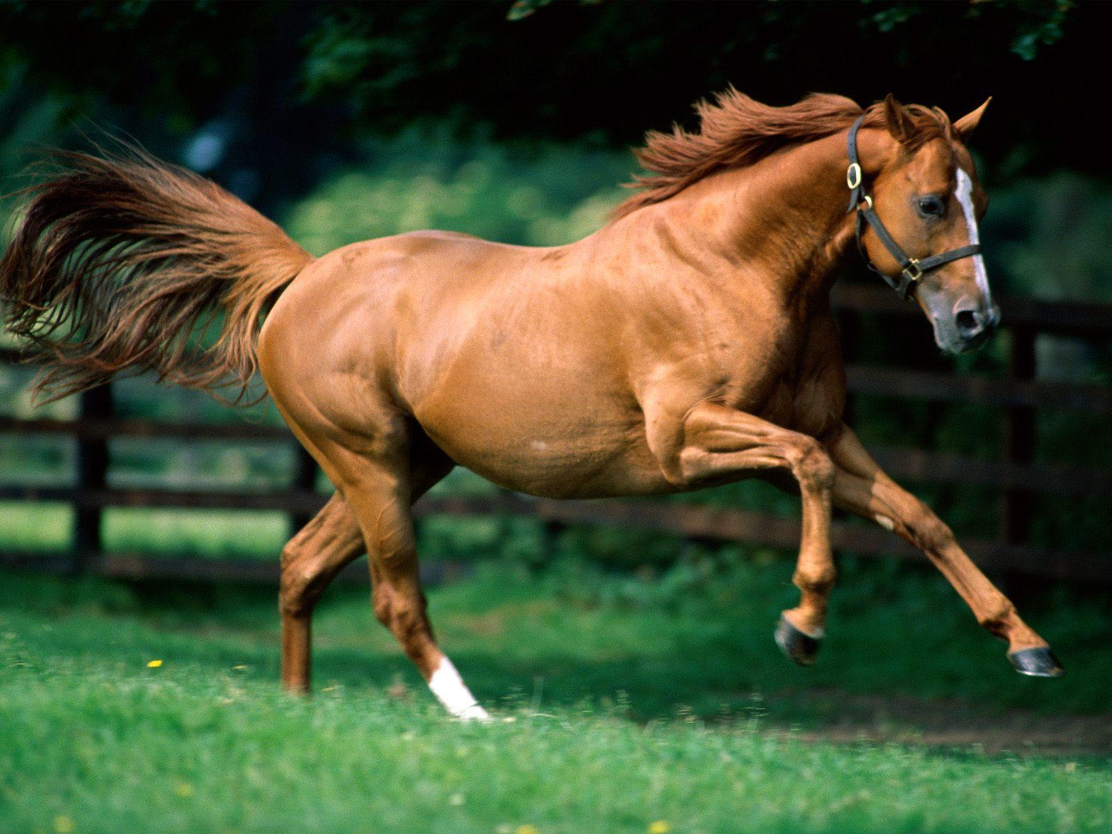 Running Horses Wallpapers Brown Horse Running Wallpapers for Desktop 1600x1200