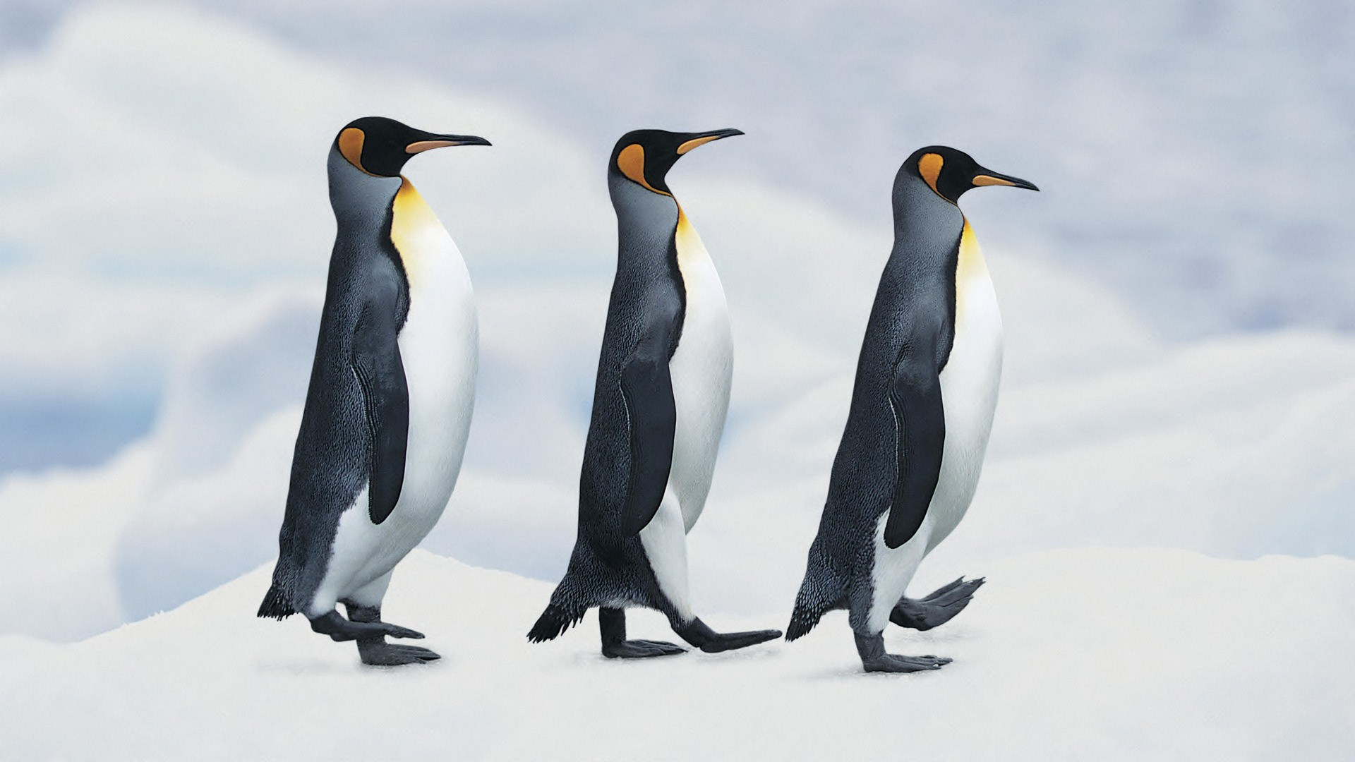 Funny Penguin Download wallpaper Gallery 1920x1080