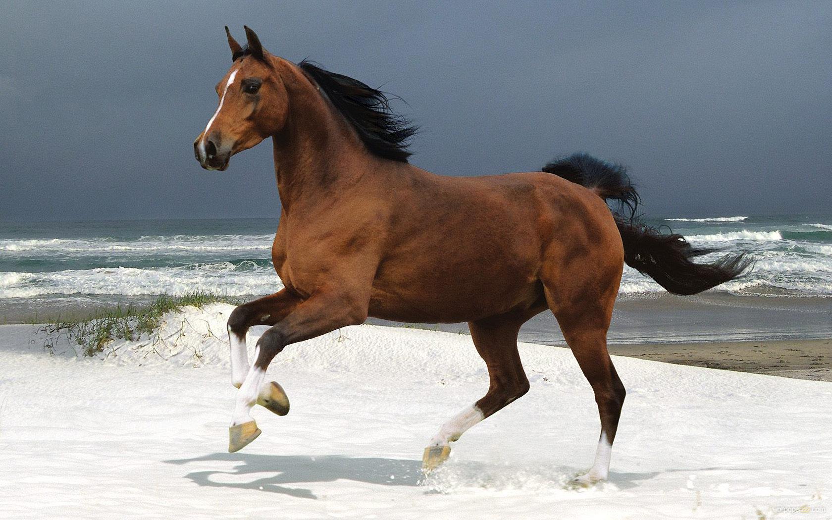 Download Horse On A Beach Widescreen Wallpaper Wallpaper 1680x1050