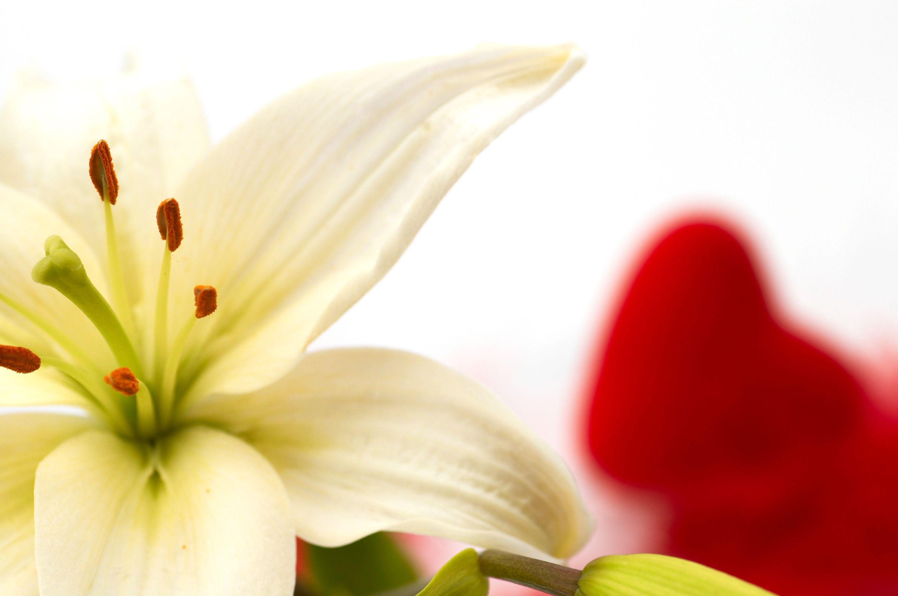43 White Lilies Wallpaper On Wallpapersafari