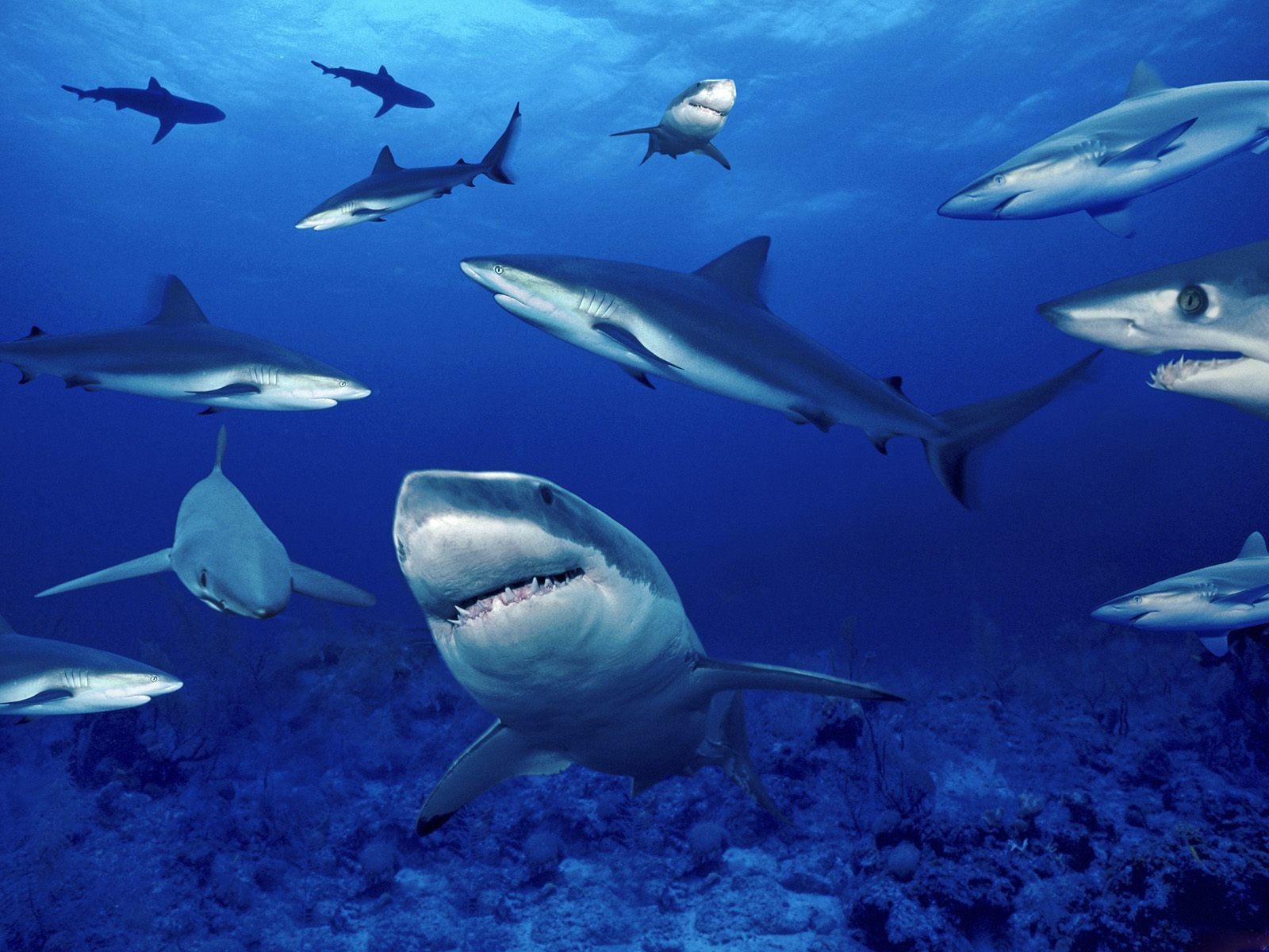 Best Wallpapers Shark Wallpapers 1600x1200