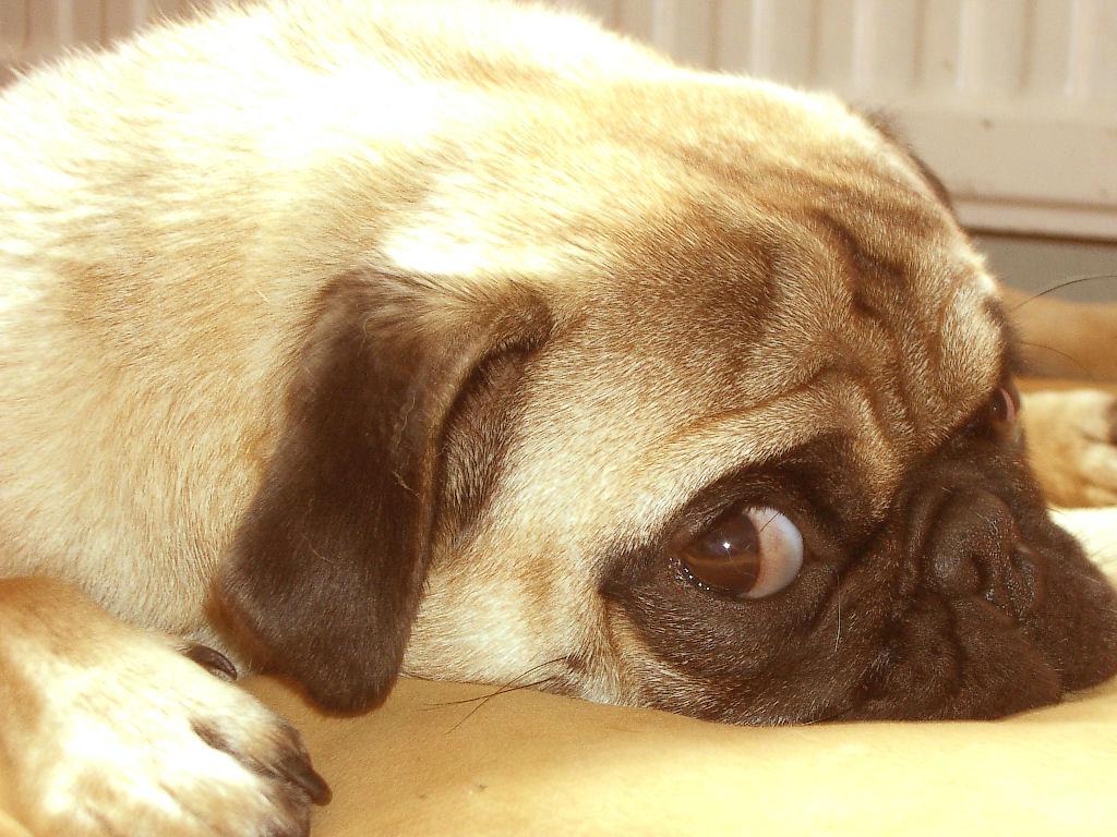 Funny Pug Dog pic   Choice Wallpaper Choice Wallpaper 1024x768