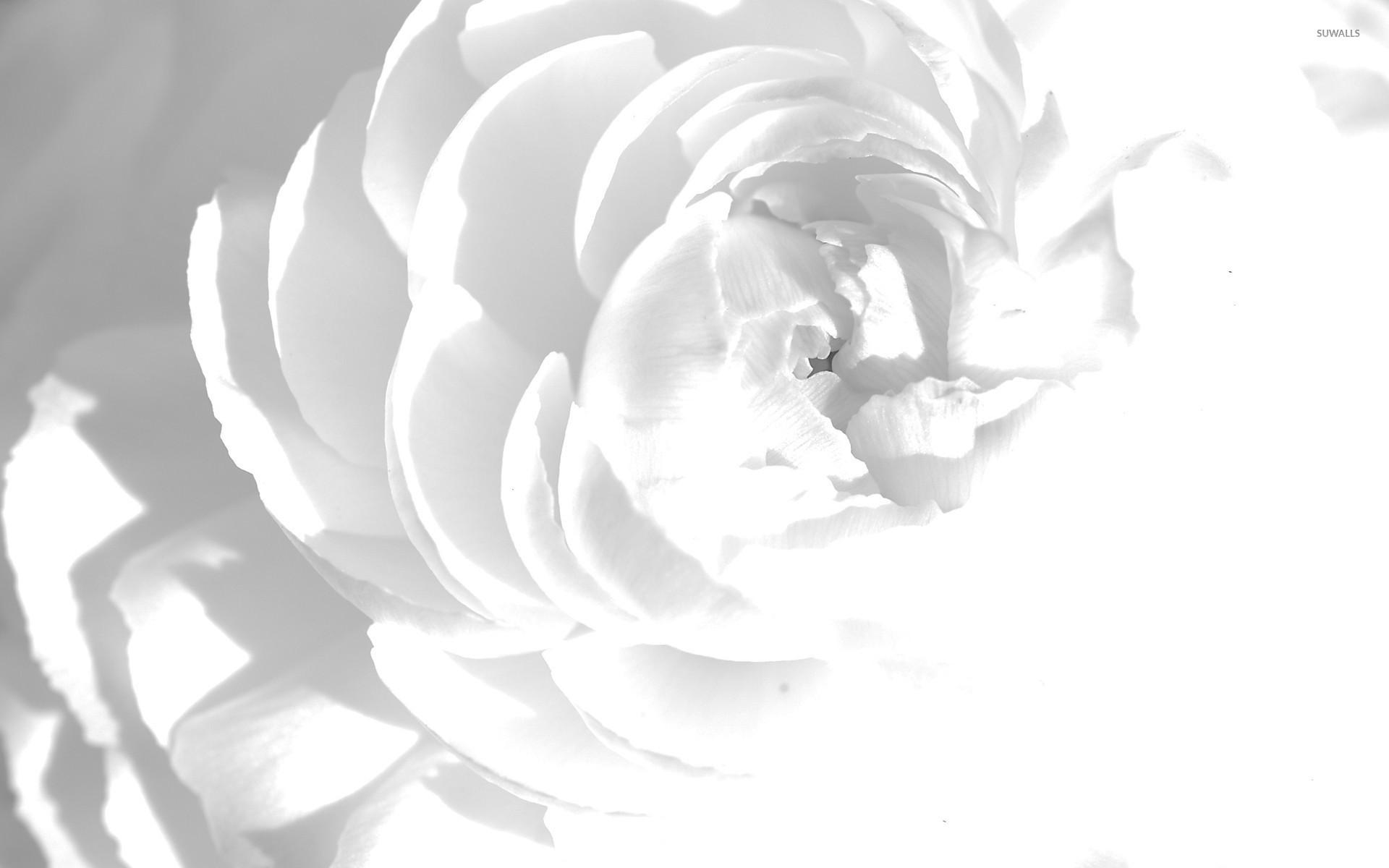 white peony wallpaper flower wallpapers 23130