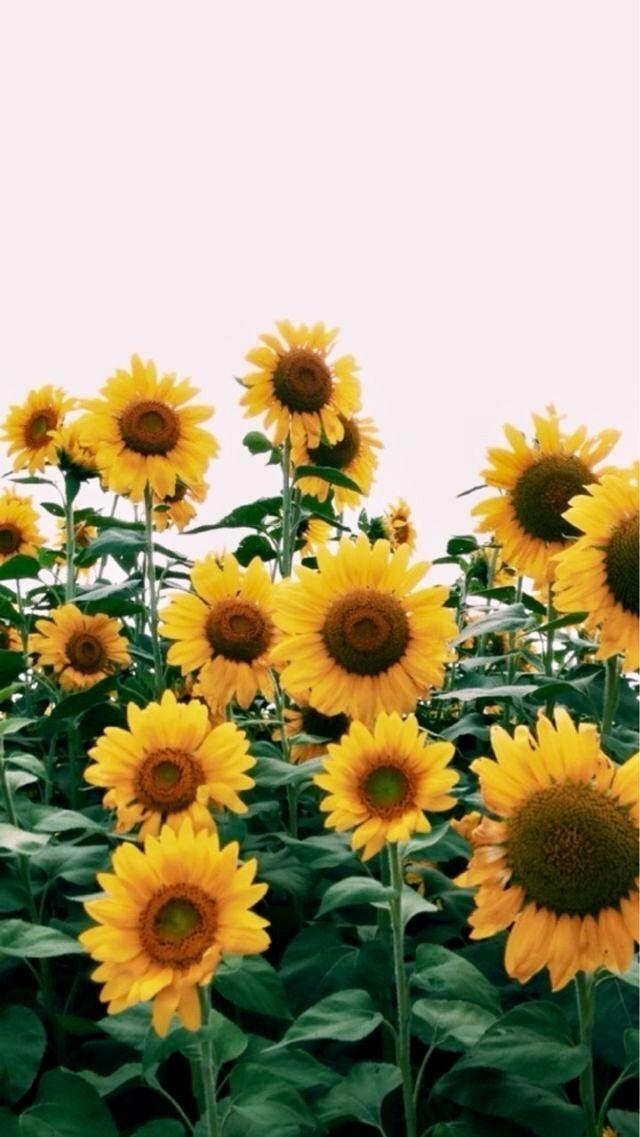 Pin by kyla san on Wallpaper Sunflower wallpaper Landscape 640x1137