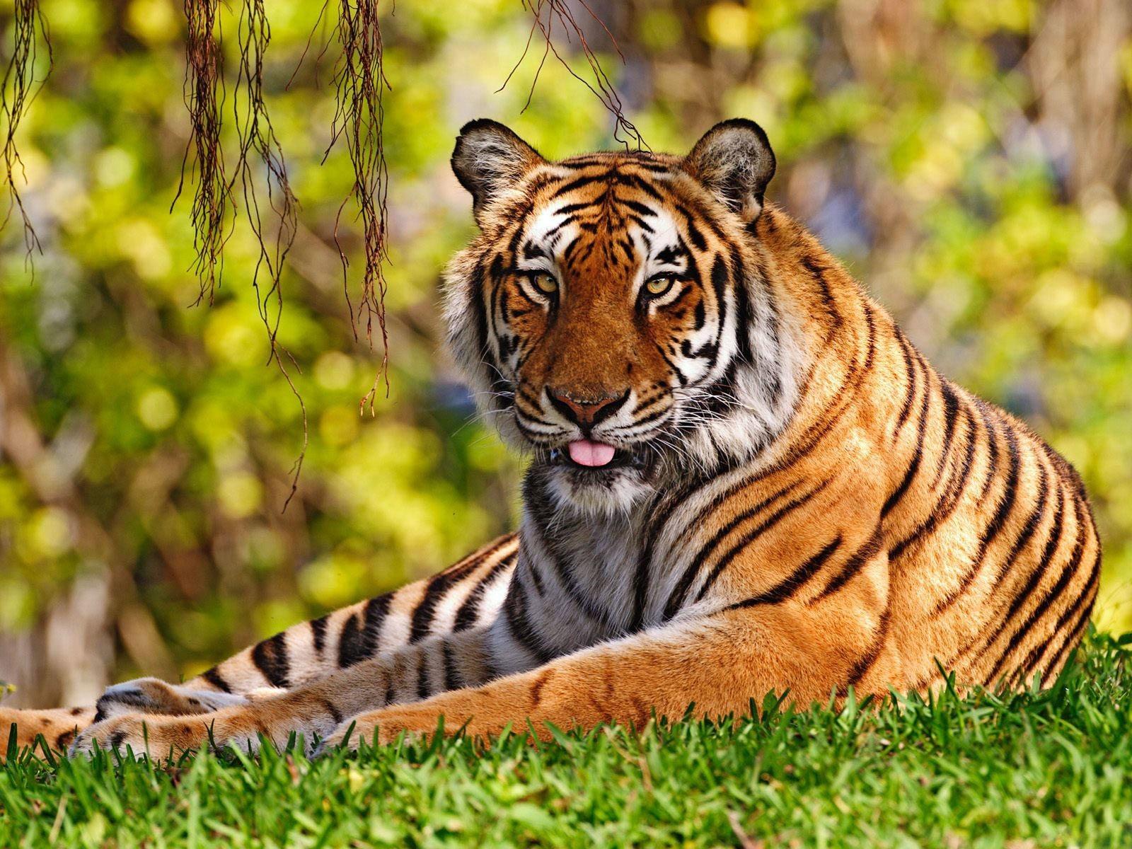 Best Desktop HD Wallpaper   Tiger HD wallpapers 1600x1200