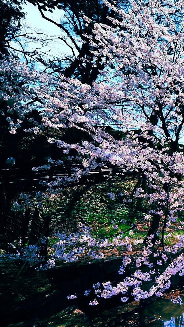 Cherry Blossoms iPhone Wallpaper - WallpaperSafari