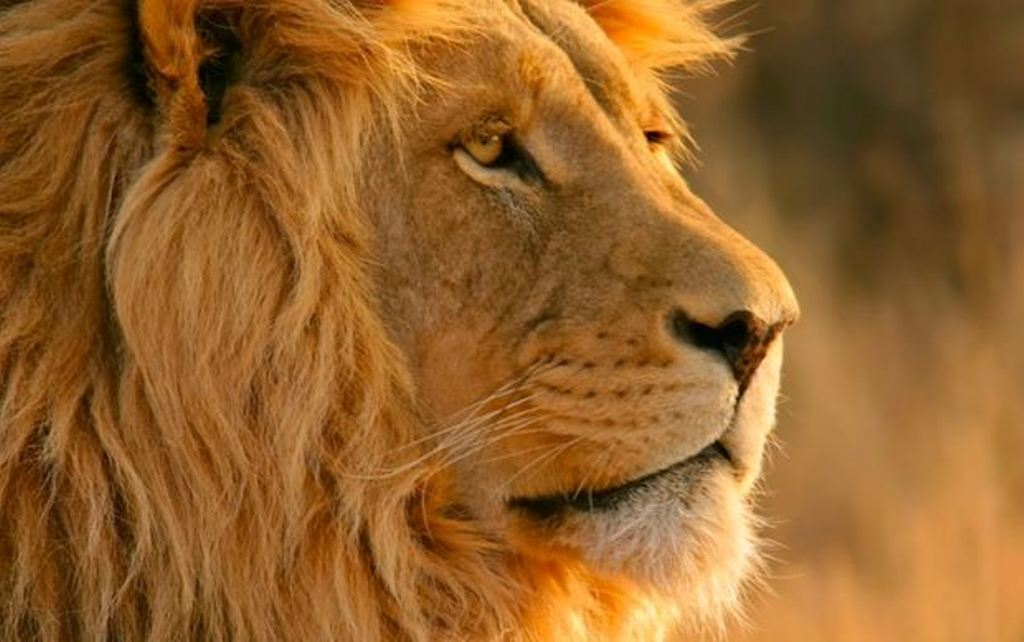 44 Lion Wallpaper Hd 1080p On Wallpapersafari